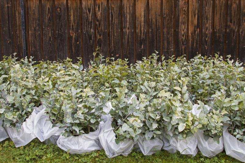 Tree seedlings for reforestation royalty free stock photo