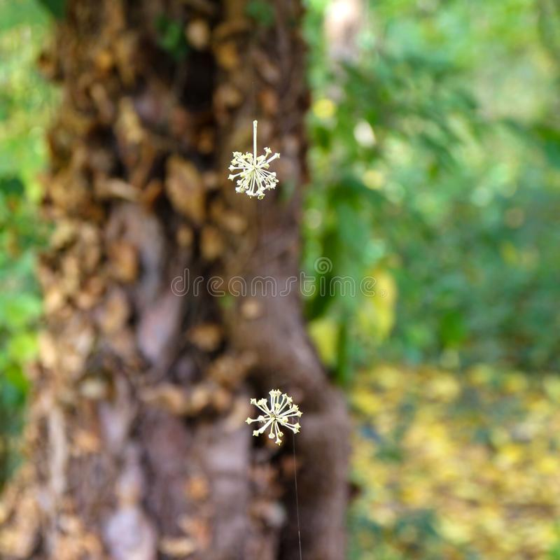 Tree seeds suspended on spider yarn at botanical garden Macea, Arad County - Romania stock photography