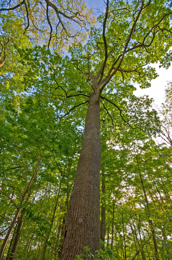 Free Tree Seen From Below With Bark Visible And The Nic Stock Image - 6218381