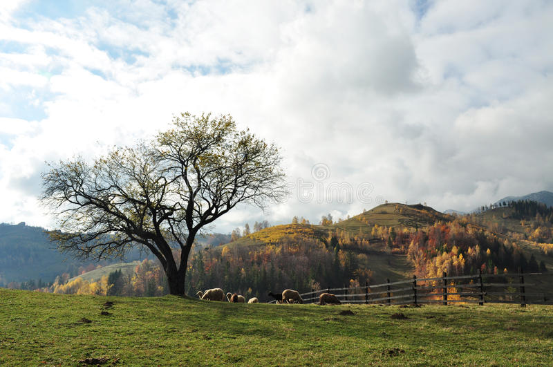 Download Tree and sheep stock image. Image of landscape, mighty - 27661317