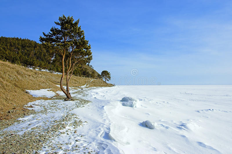 The tree on the shore of frozen Lake Baikal royalty free stock images