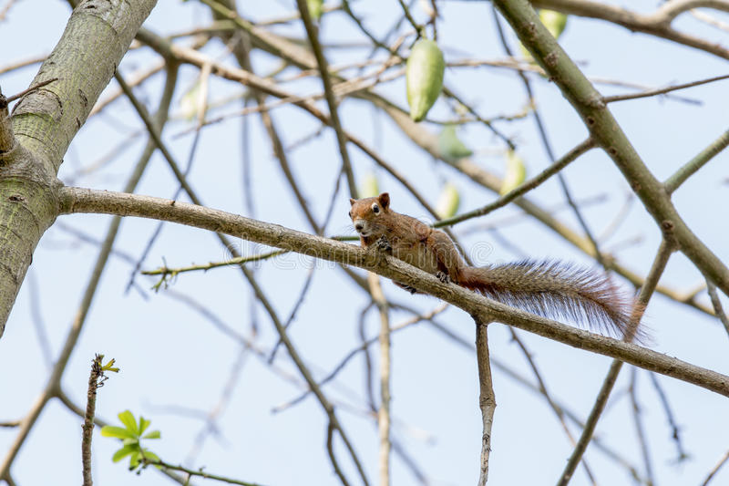 Tree shrew, Small mammals native to the tropical forests royalty free stock image