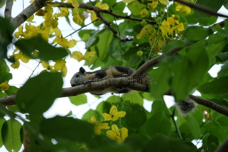 Tree shrew on tree, chipmunk on tree royalty free stock photo