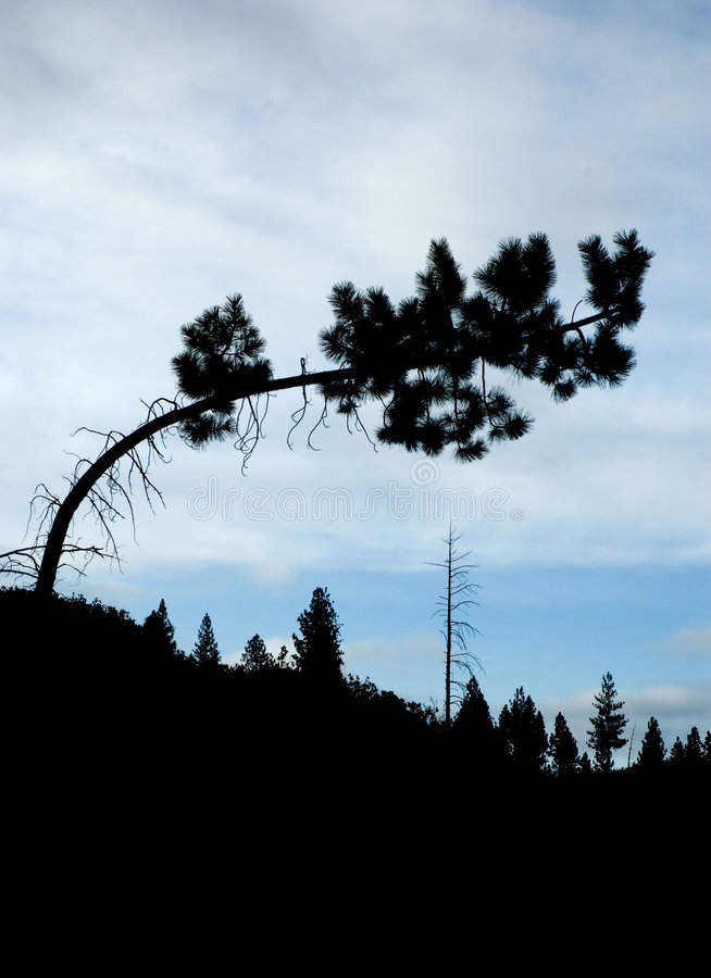 Download Tree silhouette stock image. Image of silhouette, bent - 9246881