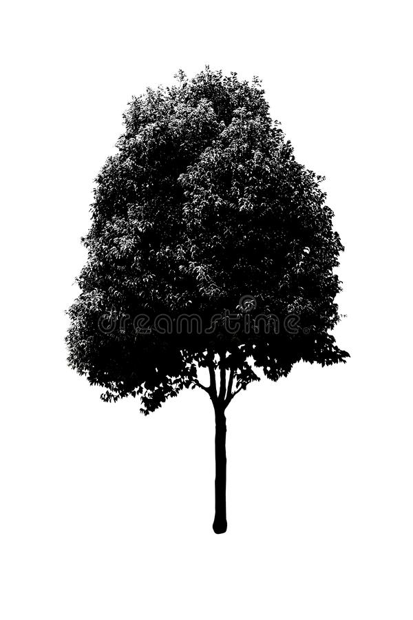 Tree silhouette 06. Black tree silhouette set of Thailand no.06 isolated on white background, single tall perennial tree with many branches and leaves, natural royalty free stock photo