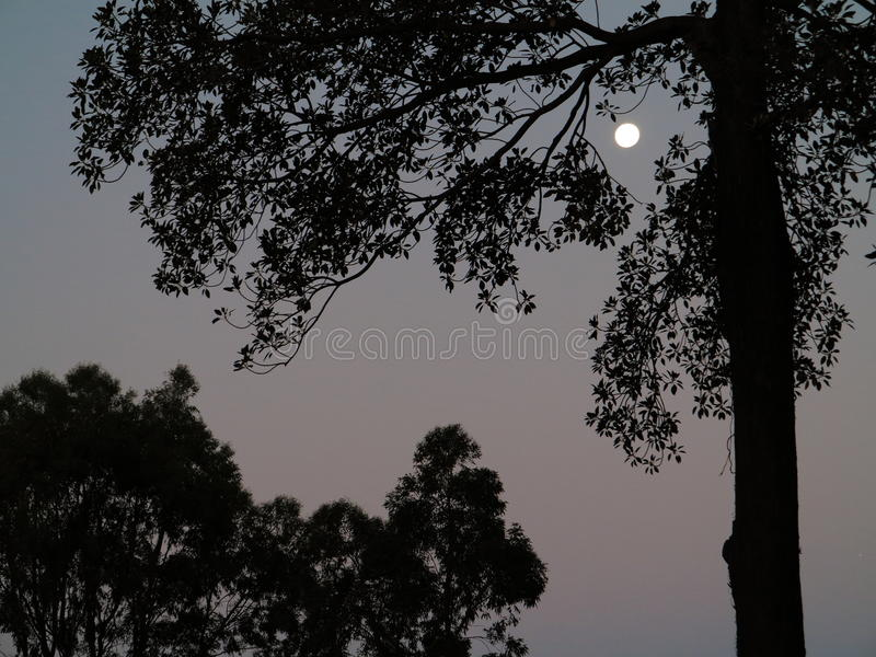 Tree silhouettes by full moon night. The silhouette of pine trees with a full moon shining and coloring the sky into a dark purple royalty free stock photography