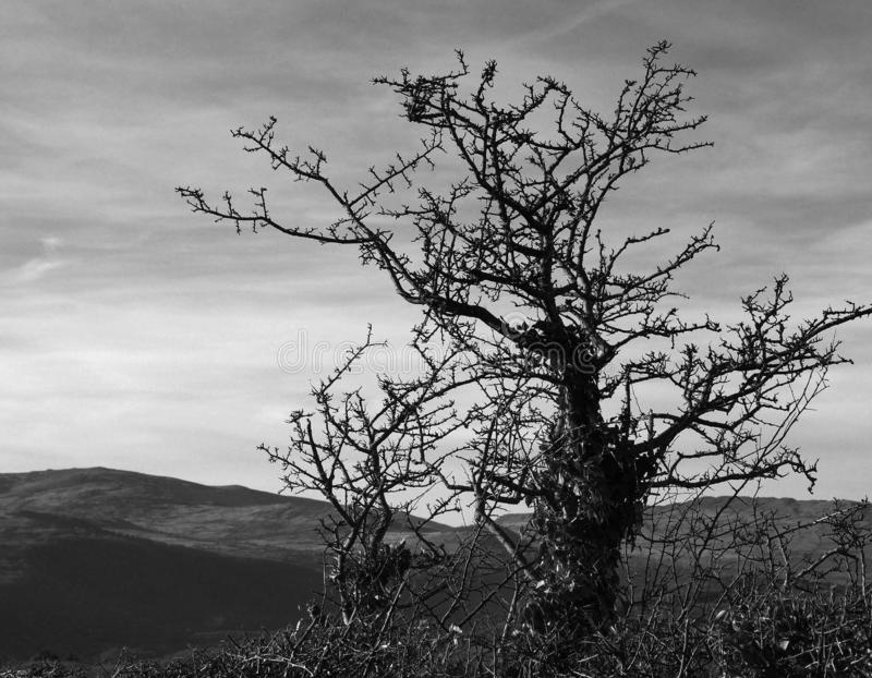 Tree, skeletal, monochrome against overcast sky. A skeletal, thorny winter tree seen against a lightly overcast sky and distant hills, a monochrome image stock photo