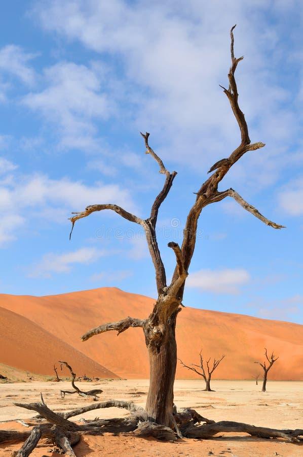 Tree skeletons, Deadvlei, Namibia royalty free stock image