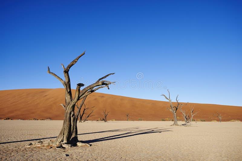 Tree skeletons. In Namibian desert royalty free stock photography