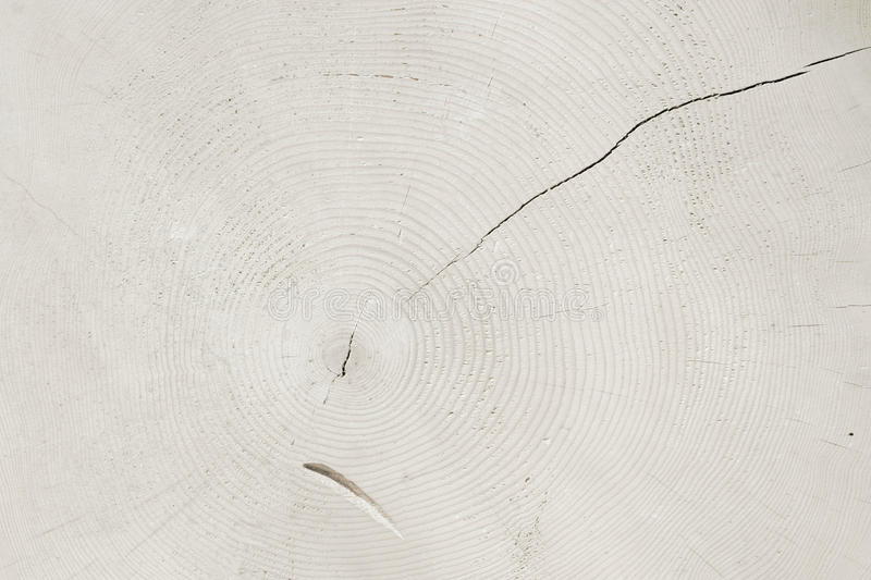 Tree slice with rings, white toned natural background stock images