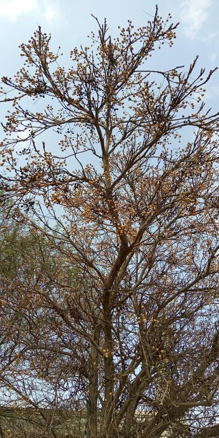 Tree and small fruits royalty free stock photo