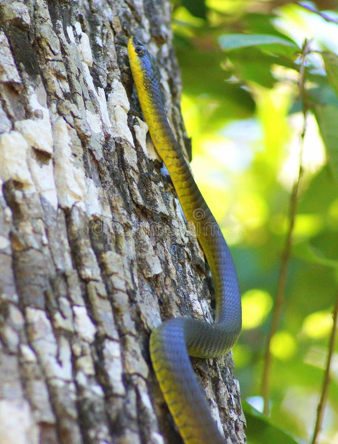 Tree Snake. Sleek slender body with long, very thin tail. Distinctive ridge extends along outer edges of belly making shed skins easily identifiable. Wide colour stock photos