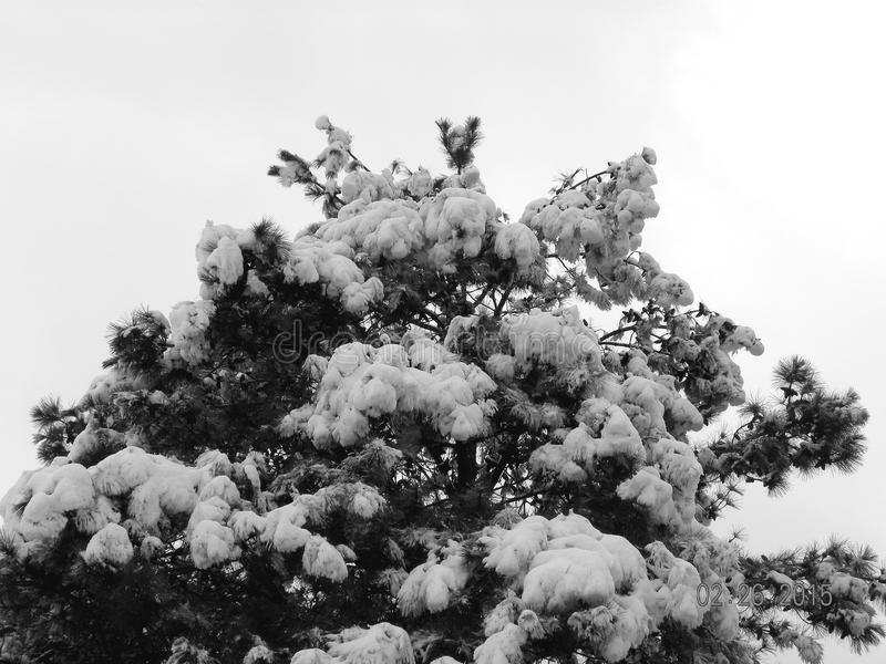 Tree in the snow royalty free stock image