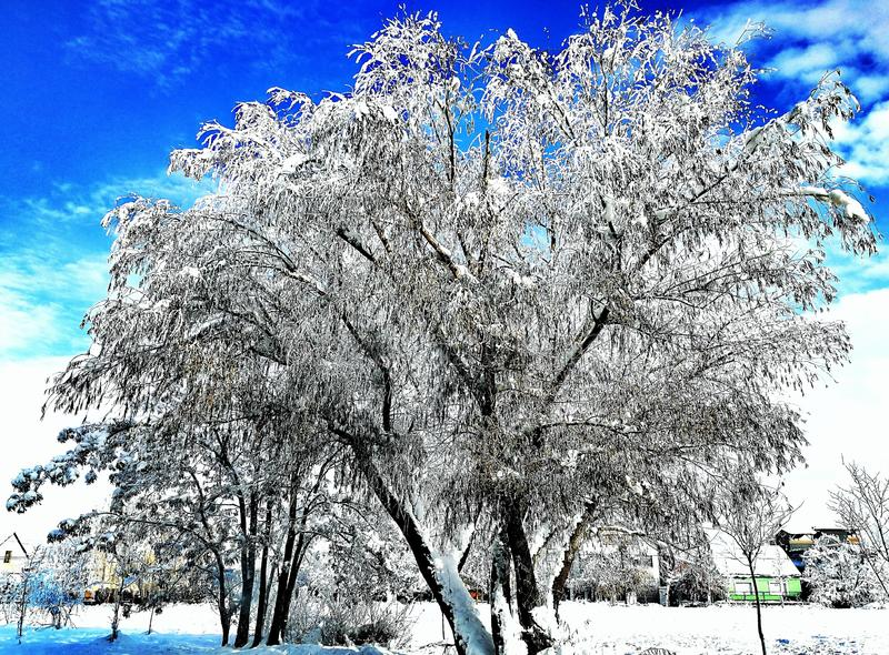 Tree and snow royalty free stock images