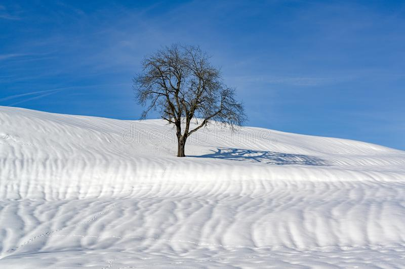 Tree on snowy hill, lonely tree, solitary tree on hill in Alps in winter stock image