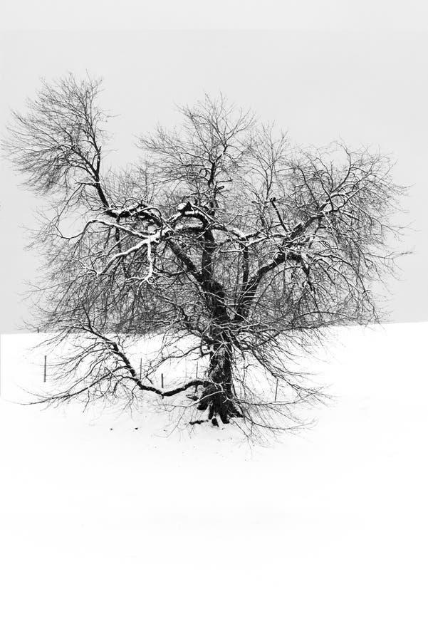 Tree in snowy landscape, lonely tree in winter landscape stock image