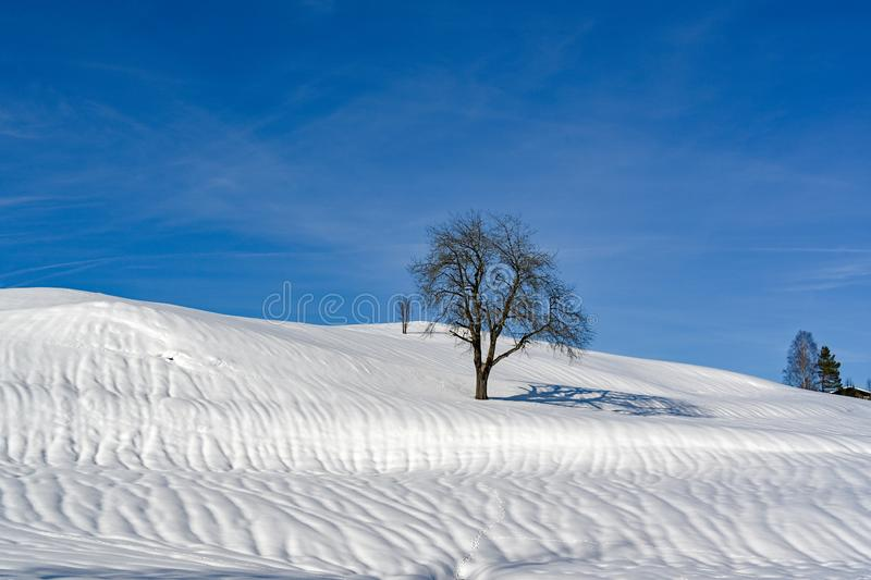 Tree in snowy landscape, lonely tree, solitary tree on hill in Alps in winter stock photography