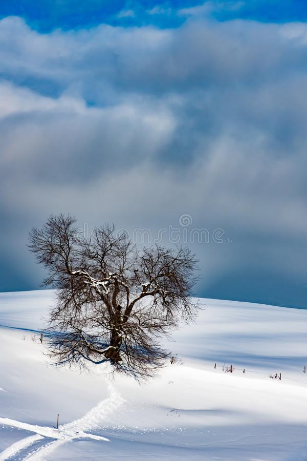 Tree in snowy landscape, lonely tree, solitary tree on hill in snow covered Allgau in winter stock photo