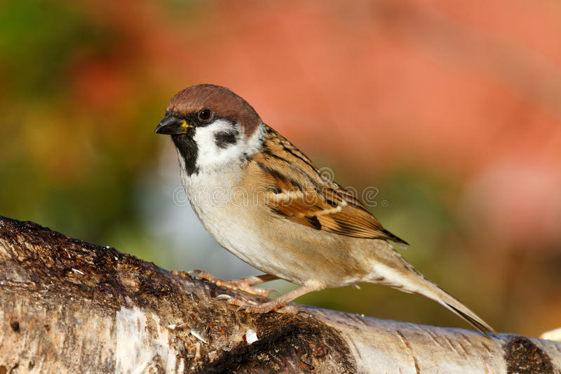 Download Tree Sparrow stock photo. Image of close, sitting, animal - 16713648