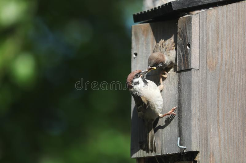 Tree Sparrow and Chick stock photography