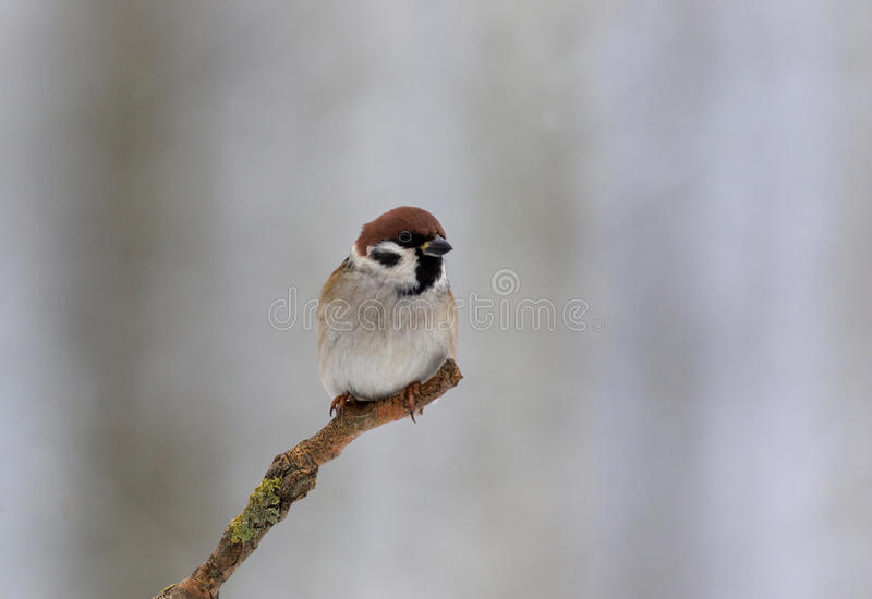 Tree sparrow Passer montanus in winter morning stock image