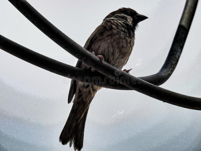 A tree sparrow on powerline royalty free stock photo