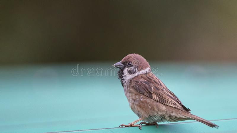 Tree Sparrow on Roof stock image