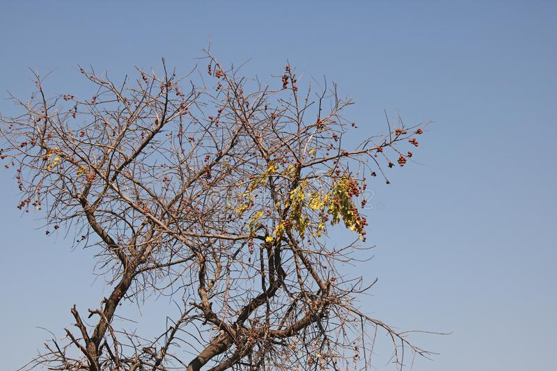 TREE WITH SPARSE LEAVES AND ROUND SEEDS AGAINST BLUE SKY. View of tree with sparse yellow leaves and round seeds on branches in winter against a blue sky royalty free stock photos