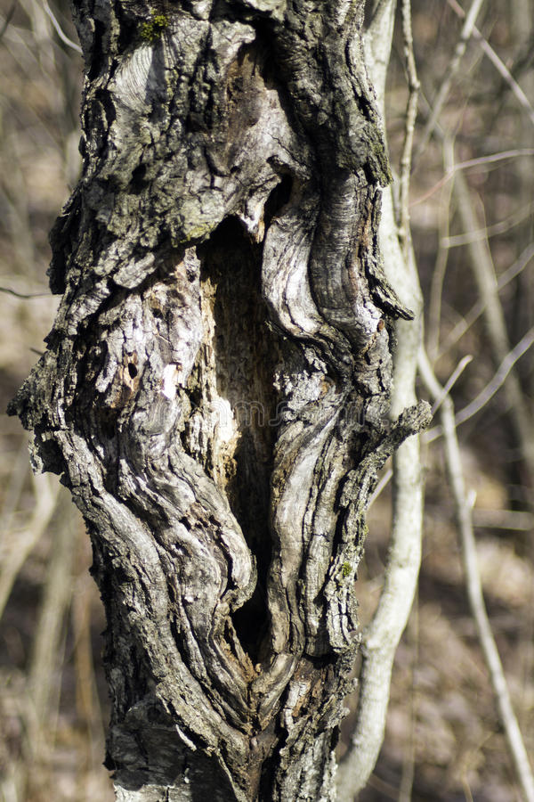 Download Tree Split stock photo. Image of tree, large, bark, forest - 90062530