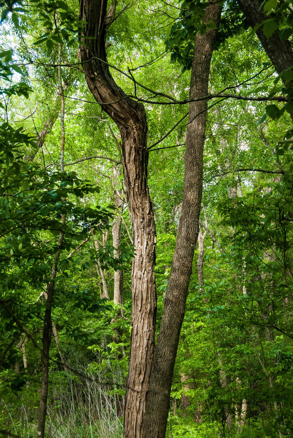 Tree with a Split Trunk. This is a tree with a split trunk. One grew straight, the other has an odd bend. Made me wonder why. Lots of green background Hot Texas stock photos