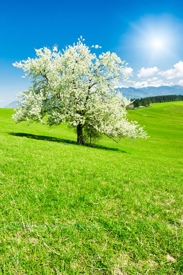 Download Tree in the spring stock image. Image of bloom, rural - 16062001