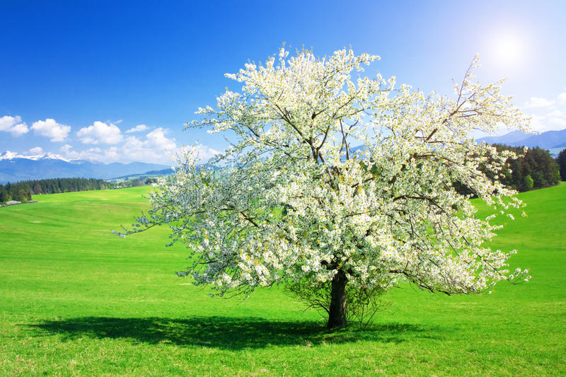 Download Tree in the spring stock photo. Image of pure, countryside - 18690188