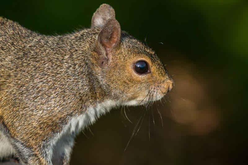 Tree squirrel stock image
