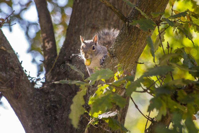 Squirrel in tree with nut stock images