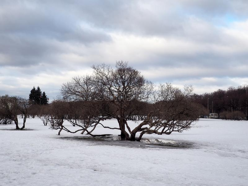 Tree standing on a field with melting snow Spring landscape. stock photography