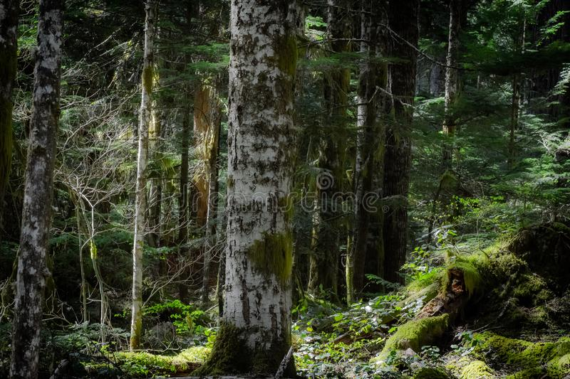 A solitary tree standing strong and stoic amidst the forest. A tree, standing strong, braving the elements through years of a changing environment. Weathered stock photos