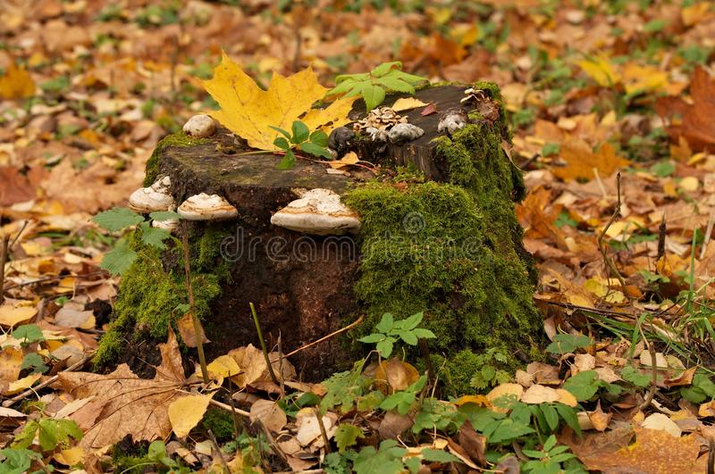 Tree Stump. Dry Rot Fungus over Tree Stump in Forest on Green Grass and Autumn Leafs background royalty free stock photography