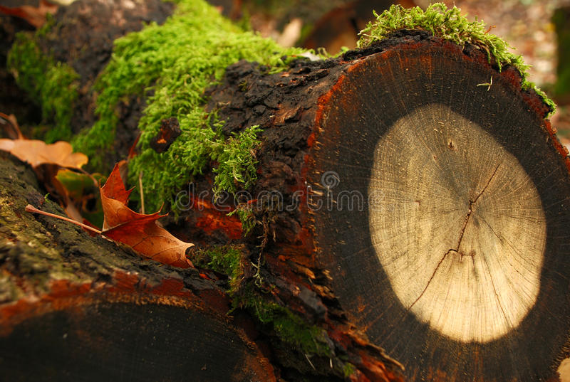 Download Tree stump with annual stock image. Image of grain, green - 14792431