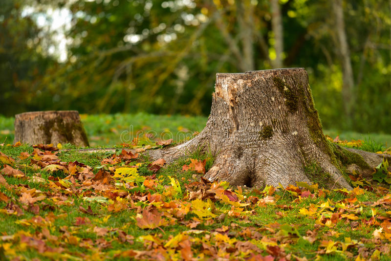 Tree stump autumn nature landscape. Tree stump surrounded by golden colorful leaves in autumn park stock photos