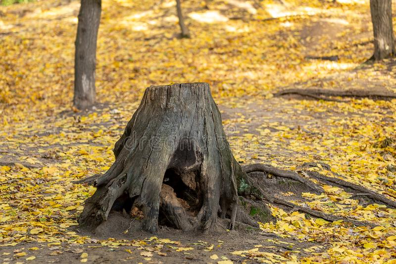 Tree stump with crooked roots in beautiful autumn wild forest. Magic forest covered with yellow fall foliage background royalty free stock photos