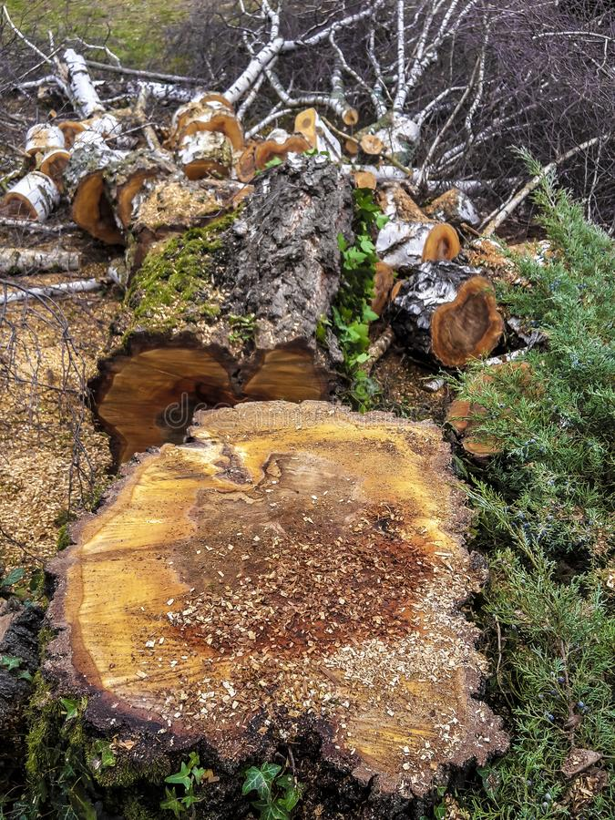 Tree stump, tree felling, wood pieces, cut trees cut to length of sawn. Lumberjack tree stump, tree felling with wood pieces royalty free stock photography