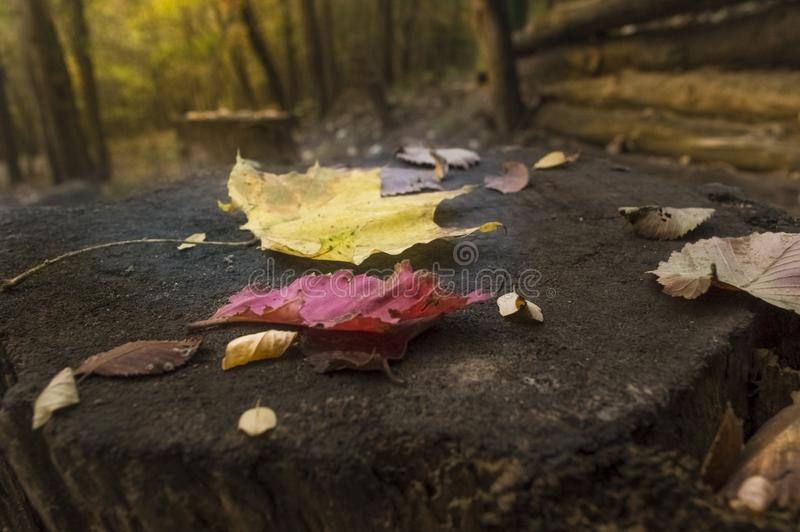 A tree stump in a forest in late autumn with leaves on it royalty free stock photography