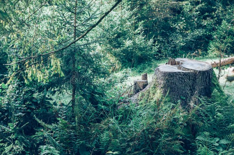 Tree stump in the forest. stock image