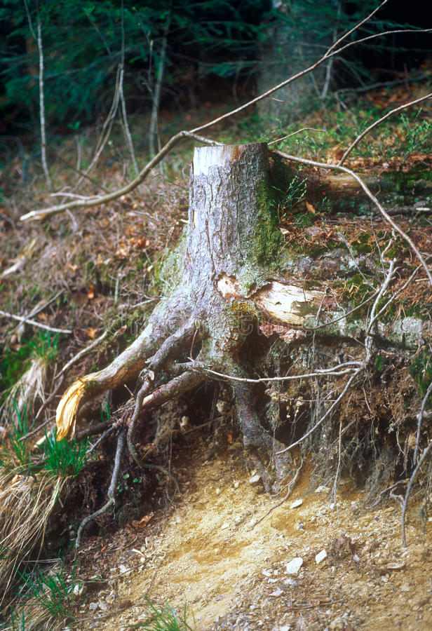Download Tree stump. stock image. Image of stub, forest, woods - 31800811