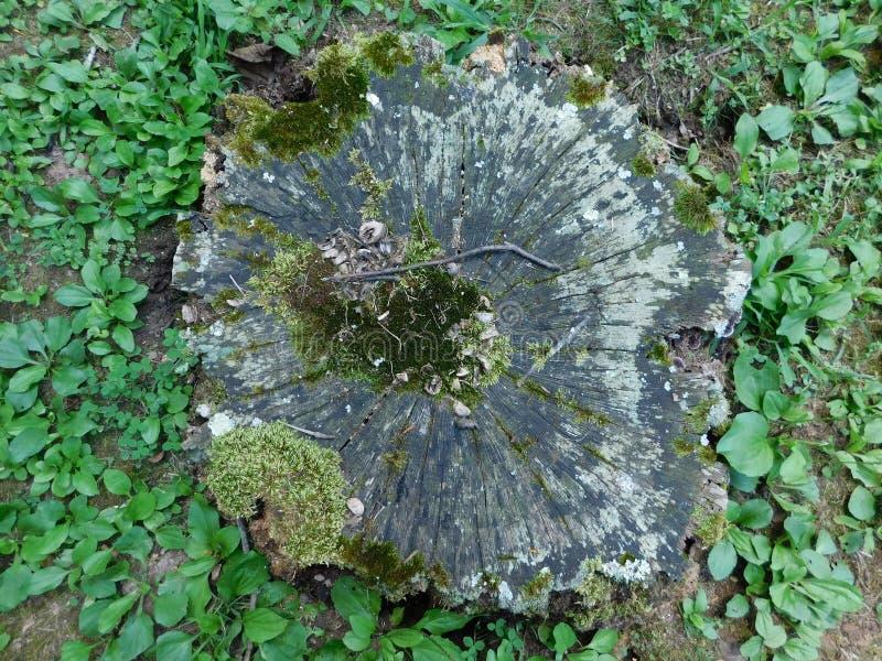 Tree Stump. Stump. Tree Stump of Gathering. royalty free stock photography