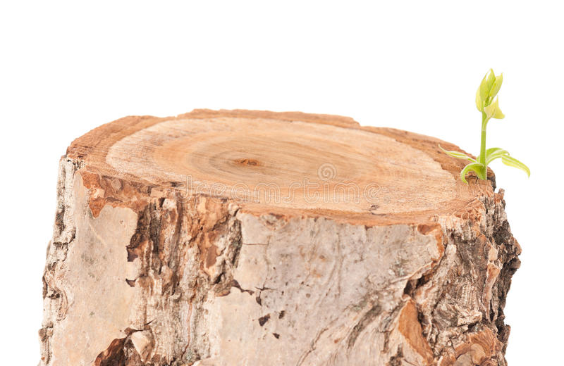 Tree stump. And green leaf on white background stock photo
