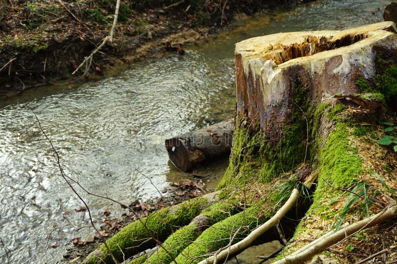 Tree stump near the stream with big roots covered with moss stock photography
