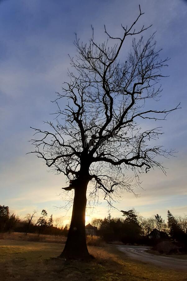 Tree at sunset Fraxinus excelsior without leaves silhouette stock photography