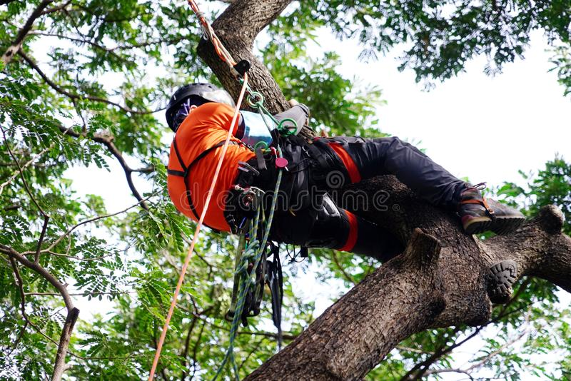 Tree surgeon climbing tall tree on ropes used safety equipment. stock image