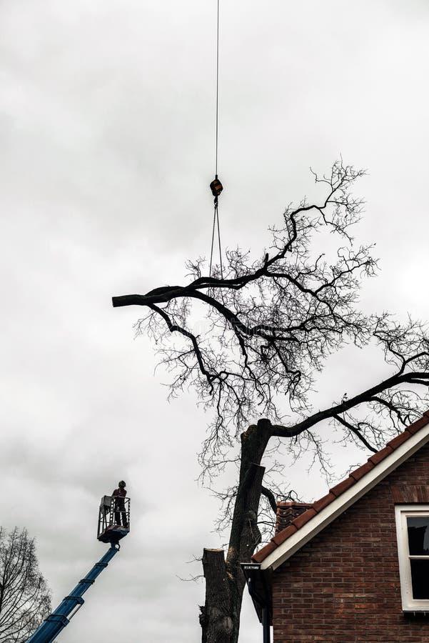 Tree surgeon in crane cutting old oak near house. royalty free stock photo
